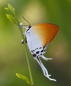 ~~The Grand Imperial - Lycaenidae, Theclinae: Neocheritra amrita Butterfly~~