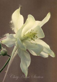 Columbine Flower Film Photo  Glowing White by CheyAnneSexton