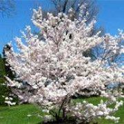 Prunus x yedoensis 'Shidare Yoshino' (Yoshino cherry)