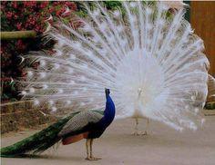 Na frente um PAVÃO-Na frente um PAVÃO-AZUL(ou Indiano), ao fundo um raríssimo PAVÃO-ALBINO farfalhando sua cauda ultra branca em forma de leque. Os dois estão desfilando pomposamente neste terreiro !!!