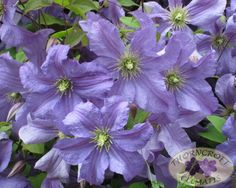 <3 Prince Charles .. clematis, 6'-8', blooms June - September, prune hard, sun to part shade.