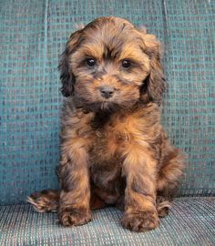 Adorable sable cockapoo!!!