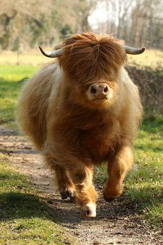 running blind.  fluffy highland coo hoofing it via agnes le floch.  hugh highlander, highland cow
