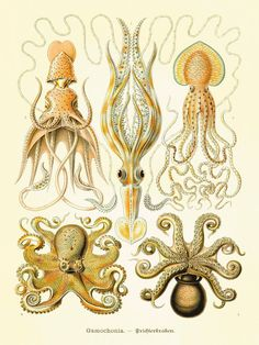 Octopus art antique print Victorian art print poster old prints Ocean Decor Natural History ocean art  large wall art nature print beach art