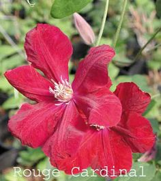 Clematis Rouge Cardinal #1 CHOICE June-Sept, 10'. blooms new wood - Prune group C in Feb