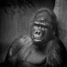 Anne Berry: Behind Glass, black and white photographs of primates