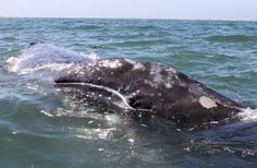 Baby Gray Whale resting on it's mother's back. Magdalena Bay, Baja Sur