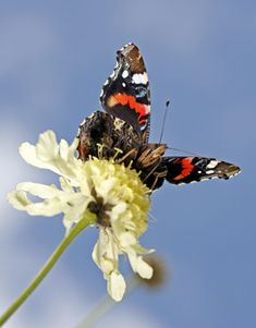 Stunning Butterfly!  Admiral