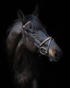 """Ego RR ✨ #equine #equi #equineportrait#equinephotographer #equinephotography #paard#paarden #pferd #pferde #horse#horsephotographer…"""