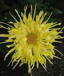 "Chrysanthemum (One of the ""four gentlemen"" in Chinese art--autumn)"