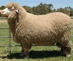 Merino sheep from MelsNattyKnits