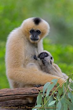 White-Cheeked Gibbons - Ashley Vincent