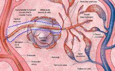 Histology - Spleen