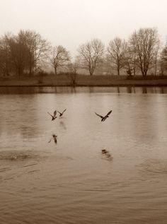 Enten bei Morgenlauf am 19.12.2012 bei +1 Grad und Nebel. Weitere Touren: http://trampelpfad.net/