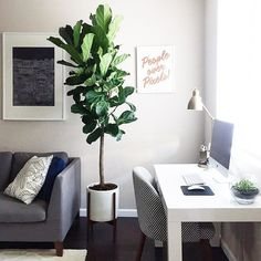 The newest member of the family is also the tallest. #home #fiddleleaffig
