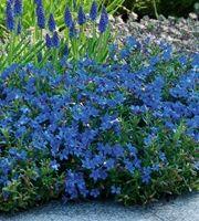 Lithiodora diffusa 'Heavenly Blue' - sinilemmiö