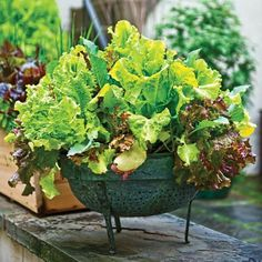 Salad bowl gardening on pinterest salad bowls salads and growing lettuce - Salads can grow pots eat fresh ...
