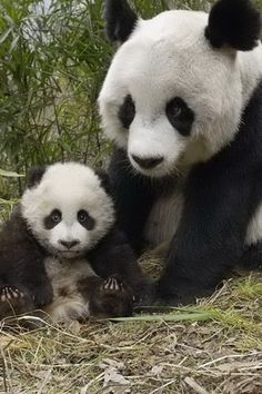 By Zhang Zhizhong-Giant pandas are both China's national treasures and symbols of wildlife conservation. Niedlicher Panda, Panda Love, Cute Panda, Cute Baby Animals, Animals And Pets, Funny Animals, Wild Animals, Panda Mignon, Panda Lindo