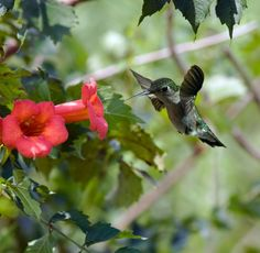 Contrary to popular opinion, flowers don't have to be red to attract hummingbirds.