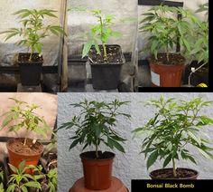 Formación de un bonsái de marihuana paso a paso