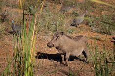 Warthog @ Eden Safari Country House Safari, Country, House, Animals, Animales, Rural Area, Home, Animaux, Animal