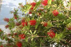 Καλλιστήμονας - Callistemon citrinus Lantana Camara, Garden Shrubs, Fruit, Gardening, Plants, Decoration, Decor, Lawn And Garden, Decorations