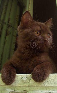 #gatto color cioccolato.