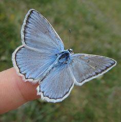 Meleager's blue - Meleageria daphnis