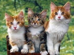Three Beautiful Cats - http://imashon.com/w/three-beautiful-cats.html