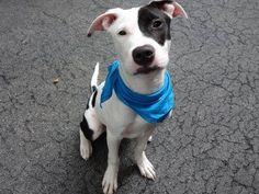 SAFE - TO BE DESTROYED 9/17/14 Manhattan Center BRUNO - A1013324 *** EXPERIENCED HOME *** MALE, WHITE / BLACK, PIT BULL MIX, 6 mos STRAY - STRAY WAIT, NO HOLD
