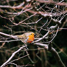 avatar European Robin, Wrens, Robin Bird, Robins, Avatar, Butterflies, Sketch, Birds, Autumn