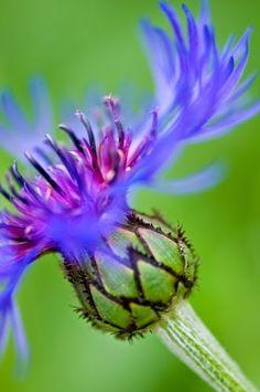 Centaurea / Cornflower
