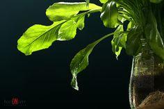 Rucula - Verde - Foto: Marion Rupp
