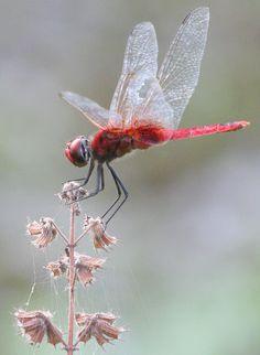 Red Dragonfly, Kerala, India (by Gary Tree)