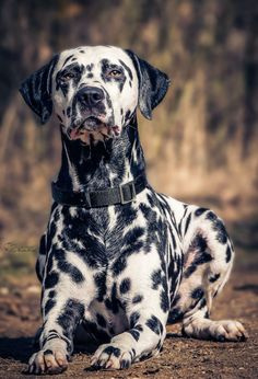 Foto Dogs In Mind Dalmatian Puppy Dog Photography Big Dogs, Cute Dogs, Dogs And Puppies, Big Dog Breeds, Dalmatian Dogs, Dog Photography, Working Dogs, Dog Photos, Beautiful Dogs