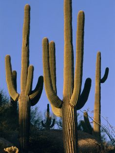 Saguaros...not a tree, but close enough