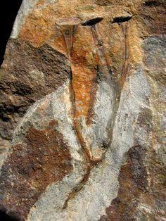 Mushroom fossil. Cooksonia.