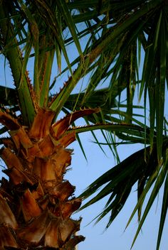 Palm tree - the type in my back yard, where the roaches live........sadly