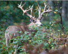 Rare gem of a buck Deer Photos, Deer Pictures, Deer Pics, Whitetail Deer Hunting, Whitetail Bucks, Dik Dik, Deer Photography, Big Deer, Deer Camp