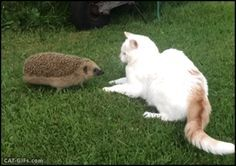 """Animated Cat GIF • When a young hedgehog """"full of testosterone"""" meets a pretty Cat. """"What do you want? Leave me alone, I'm married."""""""