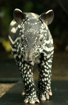 Tiny Tapir | Cutest Paw