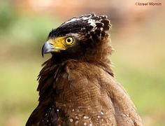 Crested serpent eagles are found in forested habitats across tropical Asia. Photographed here in Meghalaya (NE India).