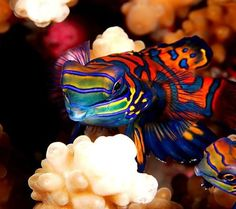 The Mandarinfish, or Mandarin dragonet, is a small, brightly-colored member of the dragonet family, which is popular in the saltwater aquarium trade. The mandarinfish is native to the Pacific, ranging approximately from the Ryukyu Islands south to Australia.