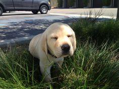 #puppy #labrador