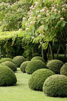 Boxwood love
