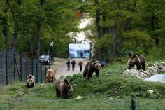 """Ursos pardos são vistos no """"Libearty"""", santuário de ursos no centro da Romenia; o espaço abriga 78 ursos, muitos deles resgatados de zoológicos em ruínas ou em situações de risco. Foto: Bogdan Cristel/Reuters"""