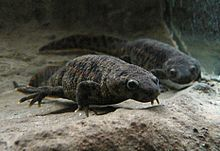 Pleurodeles, including the Iberian ribbed newt, is the type genus of subfamily Pleurodelinae.