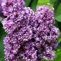 Flieder Syringa vulgaris 'Pavlinka' - Russische Raritäten - Flieder-Raritäten Fliedertraum