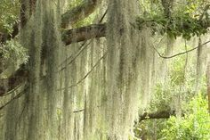 Spanish moss (Tillandsia usneoides), an iconic fixture in trees throughout the southeastern United States, is hardy in U. Department of Agriculture plant hardiness zones 8 through While it . Moss Garden, Garden Plants, House Plants, Tillandsia Usneoides, Louisiana, Agriculture, Moss Decor, Live Oak Trees, Peat Moss