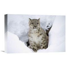 Snow Leopard Adult Portrait In Snow, Native To Asia By Tim Fitzharris, 12 X 18-Inch Wall Art